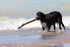 Border collie con la mano dura en la playa Foto de archivo libre de regalías
