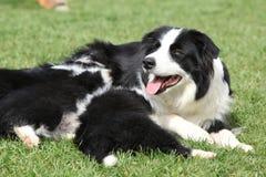 Border collie con los perritos Fotografía de archivo libre de regalías