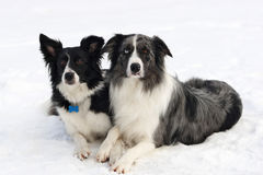 Border collie couple. On snow with legs crossed stock image