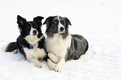 Border collie couple. On snow stock image