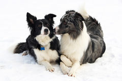 Border collie couple. On snow, eyeing one another royalty free stock image