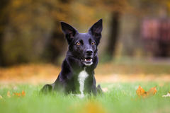 Border Collie crossbreed. Photo of Border Collie crossbreed, black and white Royalty Free Stock Images