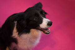 Border Collie at CRUFTS. A beautiful border collie looks up to her owner, ready for anything stock photo