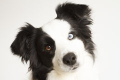Border collie curioso immagine stock