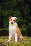 Border collie cute puppy Stock Photography
