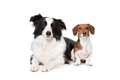Border collie and a dachshund piebald Royalty Free Stock Images