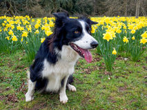 Border Collie with Daffodils Royalty Free Stock Photos