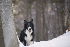 Border collie dans la pose d'attention Photographie stock