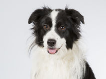 Border collie dans un studio Photos stock