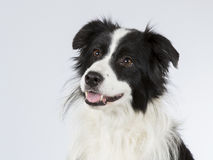 Border collie dans un studio Image stock