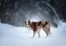 Border collie with dark winter forest behind Royalty Free Stock Photo