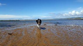 Border collie, das den Strand genießt Lizenzfreies Stockbild