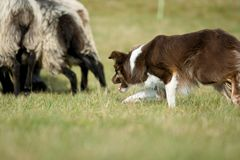 Border collie, das Schafe in Herden lebt Lizenzfreies Stockbild