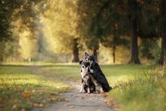 Border collie de dos perros que se sienta en el sendero Foto de archivo libre de regalías