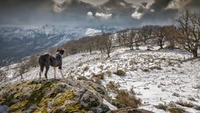 Border collie-de hond bekijkt sneeuw behandelde bergen Royalty-vrije Stock Afbeeldingen