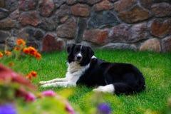 Border collie de la raza del perro imagen de archivo libre de regalías