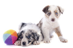 Border collie de los perritos Imagenes de archivo