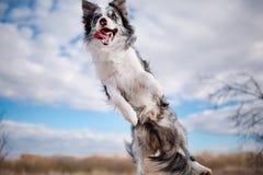 Border collie de salto alegre del perro el cielo azul fotografía de archivo libre de regalías