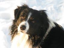 Border collie in de sneeuw Royalty-vrije Stock Afbeelding