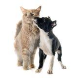 Border collie del perrito y mapache de Maine Fotografía de archivo libre de regalías