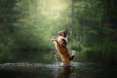 Border collie del perro que se coloca en el agua Fotos de archivo libres de regalías