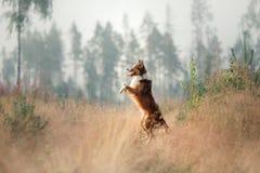 Border collie del perro que se coloca en sus piernas traseras Foto de archivo libre de regalías