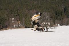 Border collie in der akrobatischen Position Lizenzfreie Stockfotografie