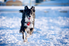 Border-Collie in der Aktion Stockfotografie
