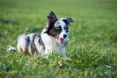 Border collie di menzogne Immagine Stock