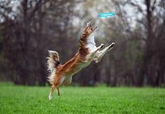 Border collie die de schijf op hondfrisbee vangen Royalty-vrije Stock Foto's