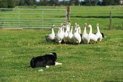 Border-Collie, die gooses antreibt Lizenzfreies Stockbild