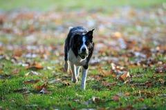 Border collie die haal in het park in de herfst spelen stock fotografie