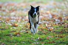 Border collie die haal in het park in de herfst spelen royalty-vrije stock foto