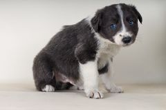 Border collie die op vloer met blauwe ogen aanbiddelijke neer hond zitten - tex ruimte royalty-vrije stock foto's
