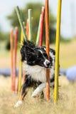 Border collie dimostra i pali veloci del tessuto al competiti dell'agilità Fotografia Stock