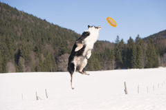 Border Collie do some acrobatic royalty free stock photo