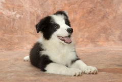 Border Collie dog. Border Collie his stature is solid, is muscular, has the smooth outline, for person's impression is the movement effortlessly, and has the Stock Photos