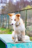 Border collie. Dog on the Agility Sports Ground obstacle in agility trial. stock image
