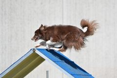 Border Collie at a Dog Agility Trial Stock Images