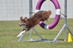 Border Collie at a Dog Agility Trial Royalty Free Stock Photos