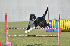 Border Collie at a Dog Agility Trial Stock Photo