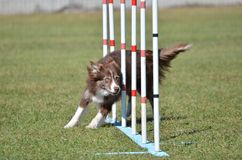 Border Collie at a Dog Agility Trial. Border Collie Weaving Through Poles at a Dog Agility Trial Stock Image