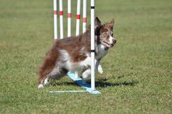 Border Collie at a Dog Agility Trial Royalty Free Stock Image