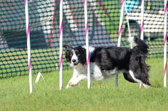 Border Collie at a Dog Agility Trial Royalty Free Stock Images
