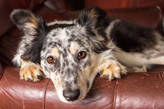 Border Collie dog on armchair Stock Photo