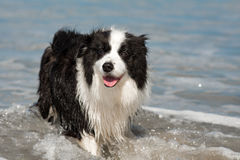 Border Collie Dog At The Beach Royalty Free Stock Photos