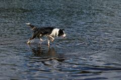 Border Collie dog baths on the lake. Stock Photography