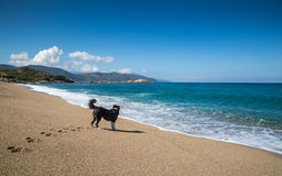 Border Collie dog on beach at Sagone in Corsica Royalty Free Stock Photos