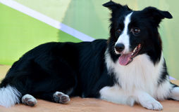 A Border Collie Stock Photos