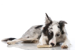 Border collie dog with bone Stock Photography